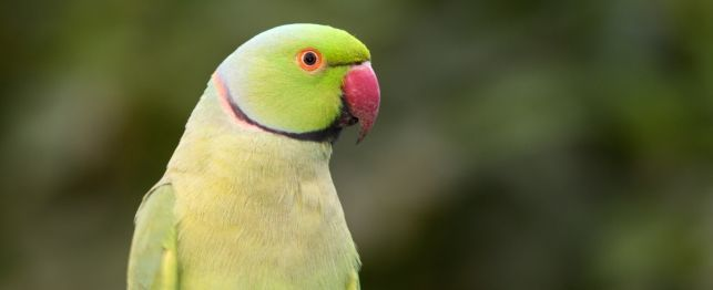Yellow Ring Neck Parrot coloring #14, Download drawings