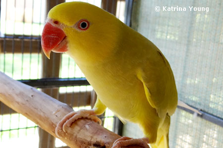 Yellow Ring Neck Parrot coloring #11, Download drawings