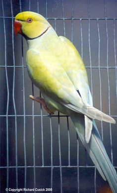 Yellow Ring Neck Parrot coloring #10, Download drawings