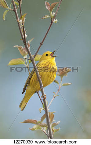Yellow Warbler clipart #10, Download drawings