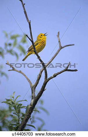 Yellow Warbler clipart #6, Download drawings