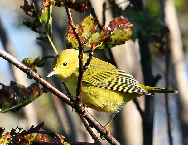 Yellow Warbler clipart #5, Download drawings