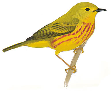 Yellow Warbler clipart #1, Download drawings