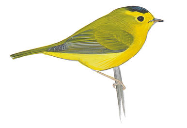 Yellow Warbler clipart #7, Download drawings