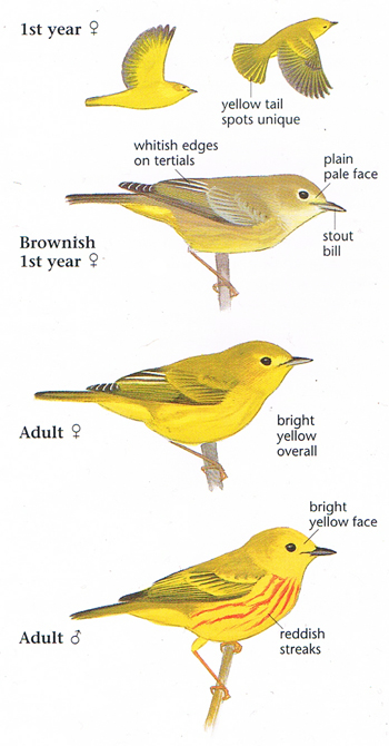 Yellow Warbler coloring #18, Download drawings