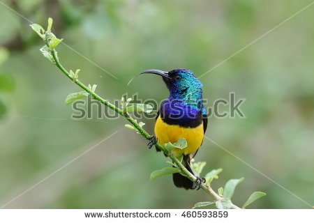 Yellow-bellied Long-bill clipart #15, Download drawings