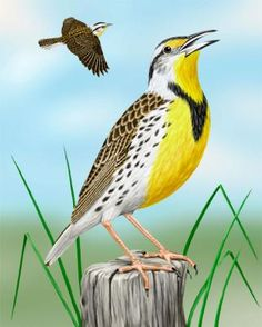 Yellow-bellied Long-bill coloring #12, Download drawings