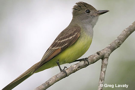 Yellow-bellied Longbill coloring #16, Download drawings