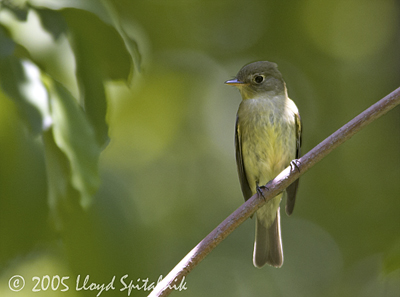 Yellow-bellied Longbill coloring #8, Download drawings