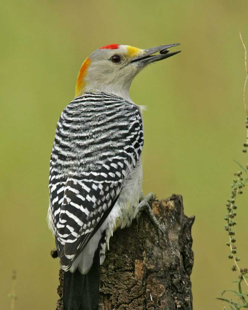 Yellow-fronted Woodpecker clipart #20, Download drawings