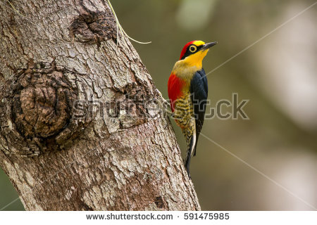 Yellow-fronted Woodpecker clipart #12, Download drawings