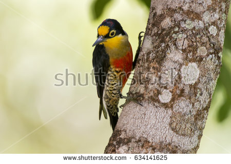 Yellow-fronted Woodpecker clipart #14, Download drawings