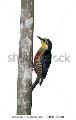 Yellow-fronted Woodpecker clipart #13, Download drawings