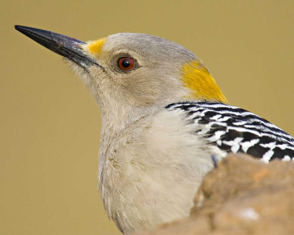 Yellow-fronted Woodpecker clipart #11, Download drawings