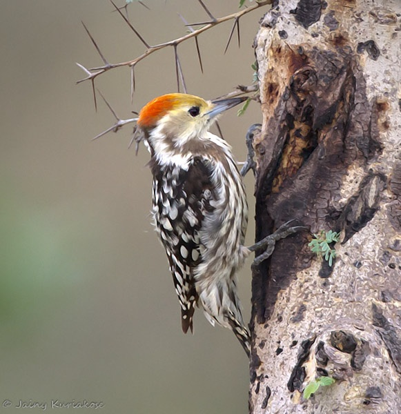 Yellow-fronted Woodpecker clipart #2, Download drawings