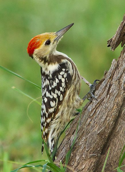Yellow-fronted Woodpecker clipart #15, Download drawings