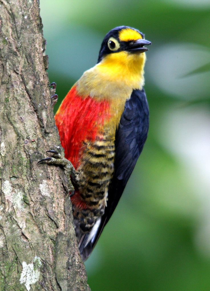 Yellow-fronted Woodpecker clipart #10, Download drawings