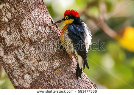 Yellow-fronted Woodpecker clipart #18, Download drawings