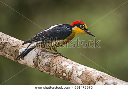 Yellow-fronted Woodpecker clipart #19, Download drawings