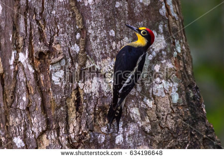 Yellow-fronted Woodpecker clipart #17, Download drawings