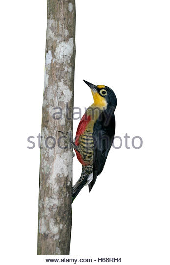 Yellow-fronted Woodpecker coloring #6, Download drawings