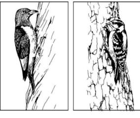 Yellow-fronted Woodpecker coloring #11, Download drawings