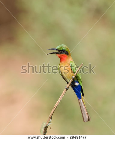 Yellow-throated Bee-eater clipart #20, Download drawings