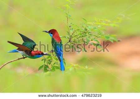 Yellow-throated Bee-eater clipart #11, Download drawings