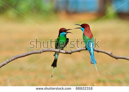 Yellow-throated Bee-eater clipart #12, Download drawings