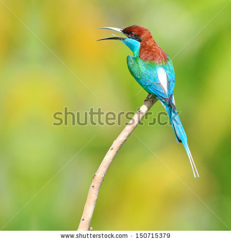 Yellow-throated Bee-eater clipart #7, Download drawings