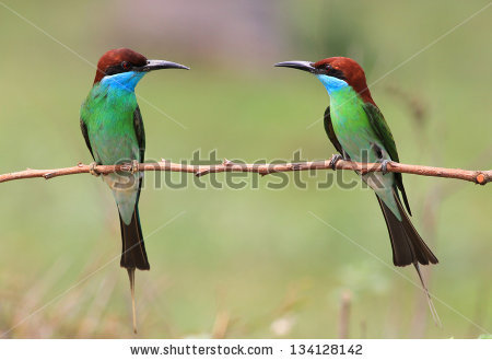 Yellow-throated Bee-eater clipart #13, Download drawings