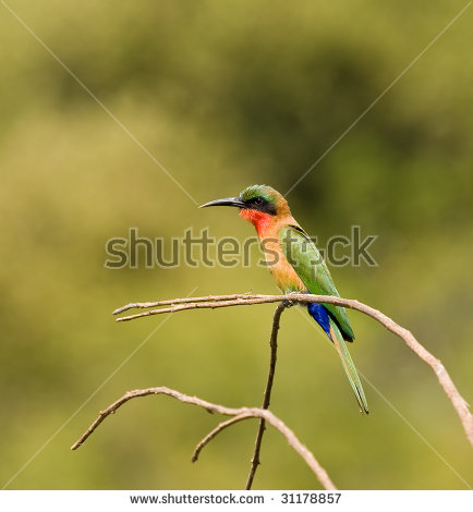 Yellow-throated Bee-eater clipart #19, Download drawings