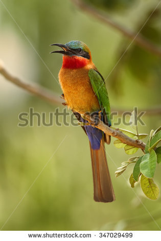 Yellow-throated Bee-eater clipart #4, Download drawings