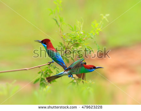 Yellow-throated Bee-eater clipart #6, Download drawings