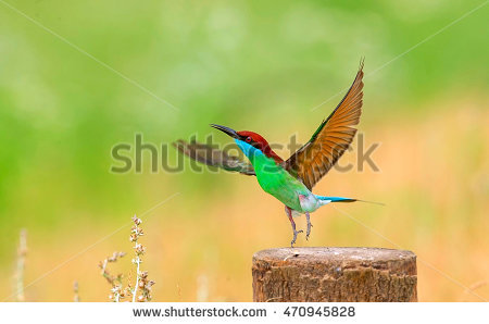 Yellow-throated Bee-eater clipart #5, Download drawings