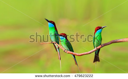 Yellow-throated Bee-eater clipart #14, Download drawings