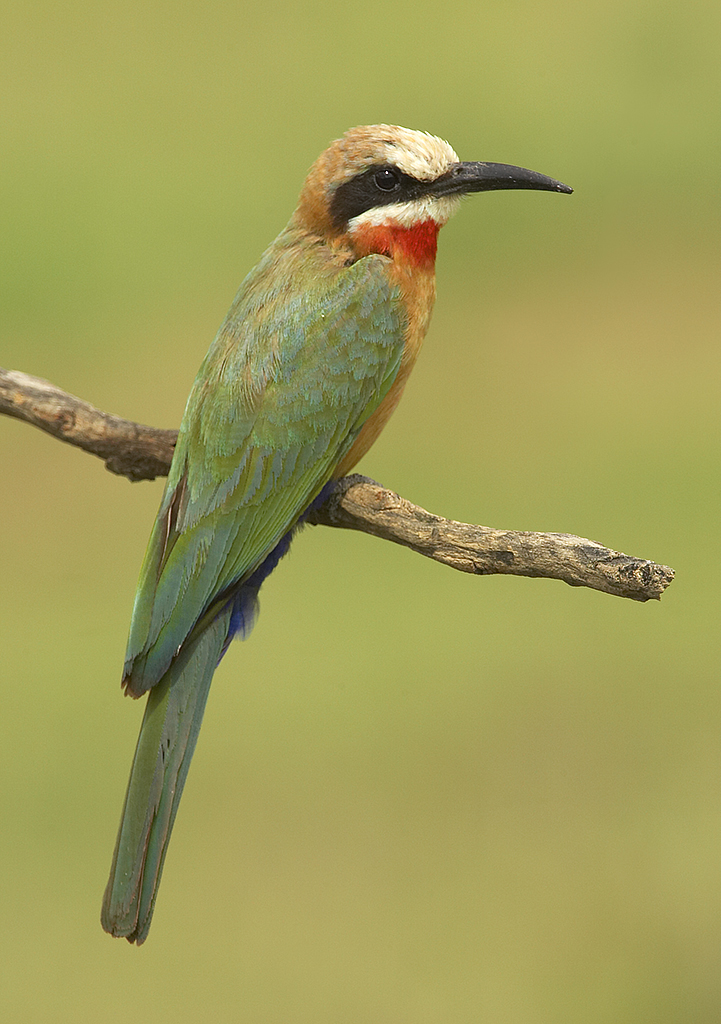 Yellow-throated Bee-eater coloring #6, Download drawings
