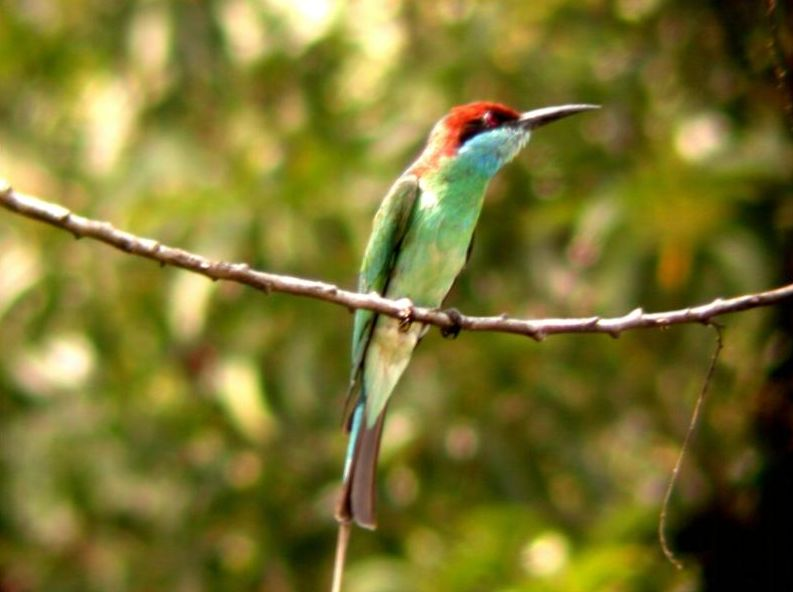 Yellow-throated Bee-eater coloring #9, Download drawings