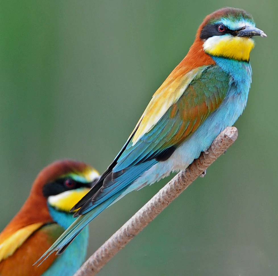 Yellow-throated Bee-eater coloring #13, Download drawings