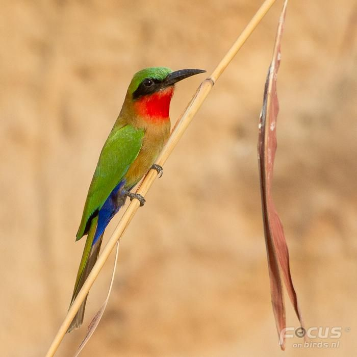Yellow-throated Bee-eater coloring #16, Download drawings