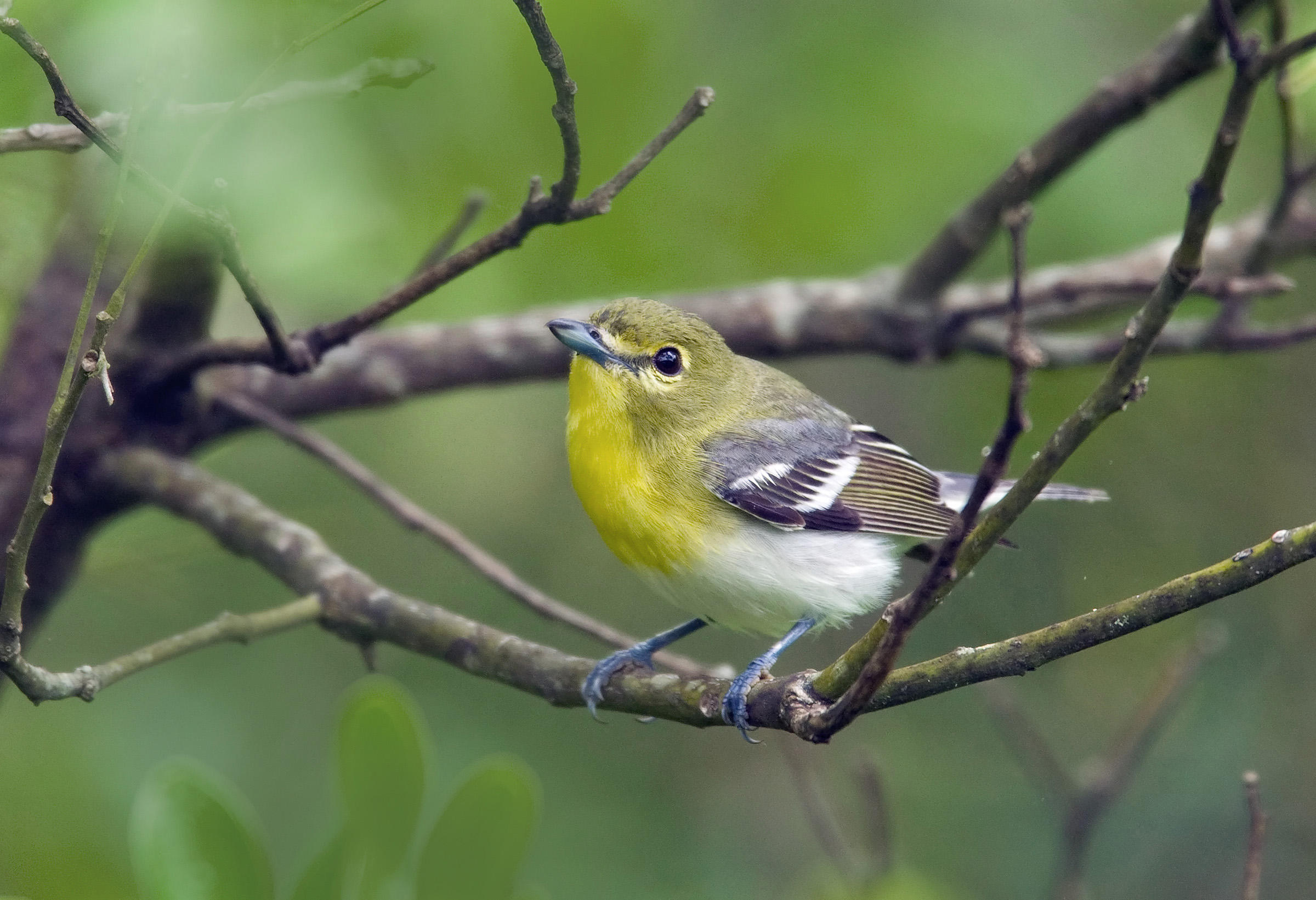 Yellow-throated Vireo clipart #8, Download drawings