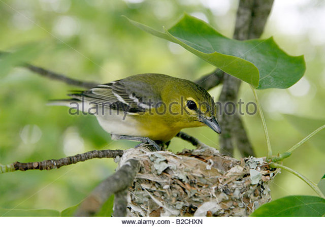 Yellow-throated Vireo clipart #7, Download drawings