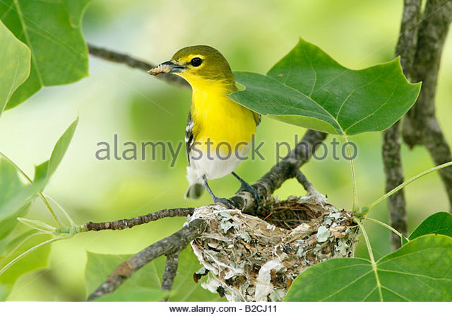 Yellow-throated Vireo clipart #5, Download drawings