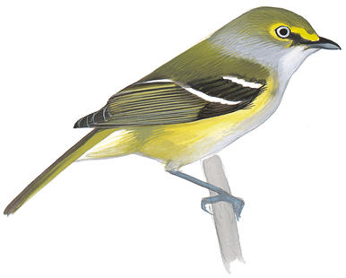 Yellow-throated Vireo clipart #15, Download drawings