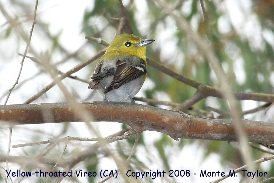 Yellow-throated Vireo clipart #4, Download drawings