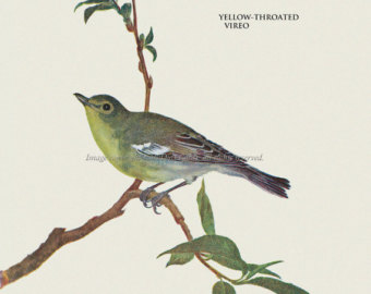 Yellow-throated Vireo clipart #10, Download drawings