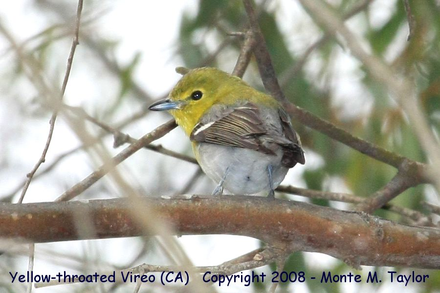 Yellow-throated Vireo clipart #3, Download drawings