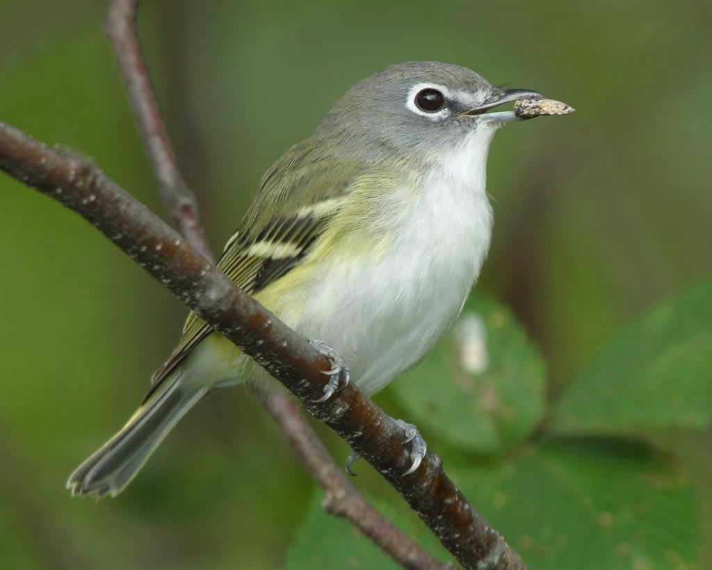 Yellow-throated Vireo clipart #2, Download drawings