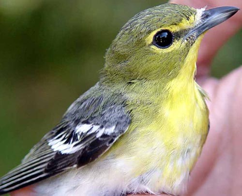 Yellow-throated Vireo clipart #18, Download drawings