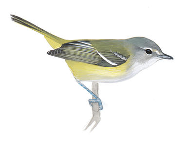 Yellow-throated Vireo clipart #19, Download drawings